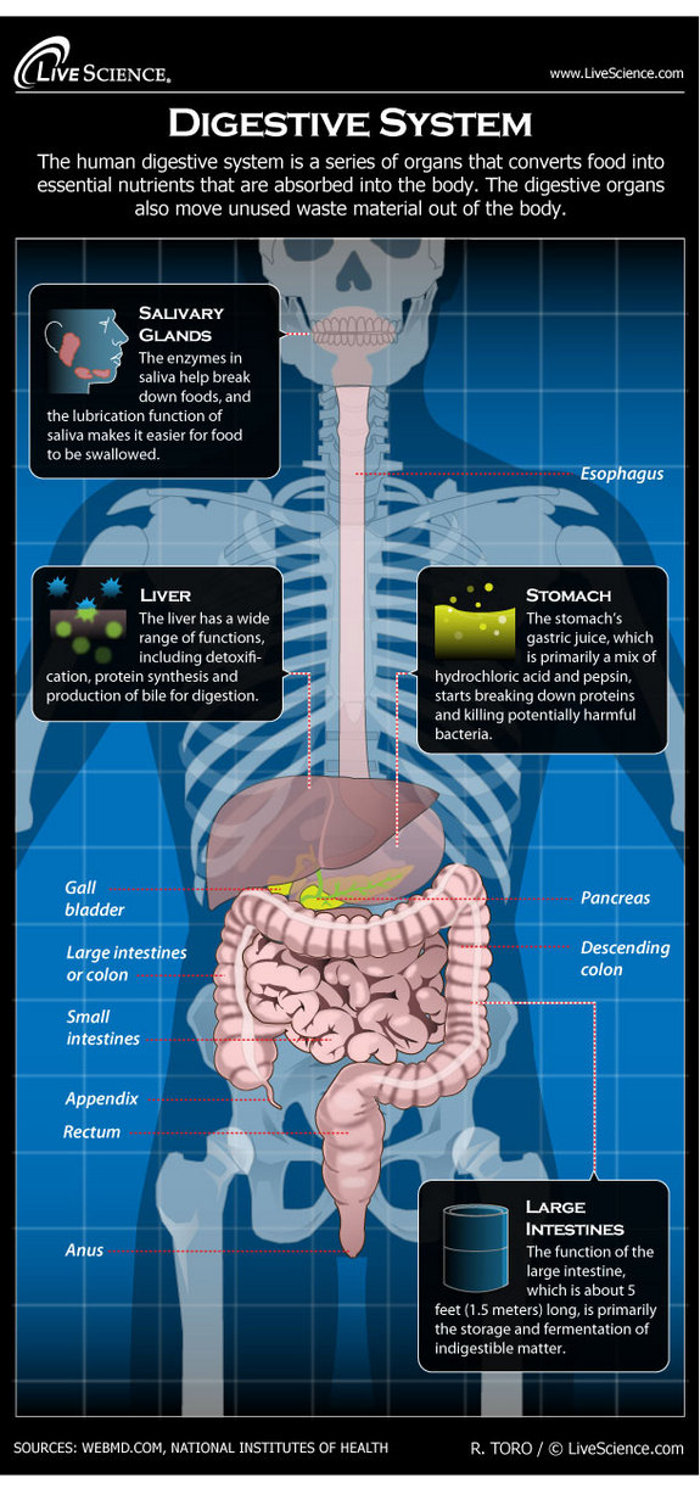 Salvary Glands VS Digestive System