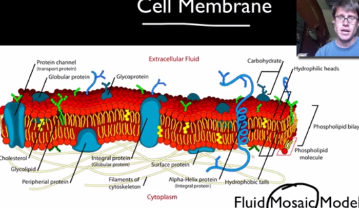 4 Interesting Facts About the Cell Membrane
