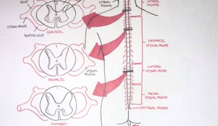 10 Interesting Facts About the Spinal Cord