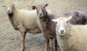 Difference Between Mutton and Lamb