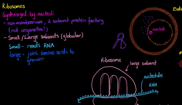 Ribosomes Definition For Kids