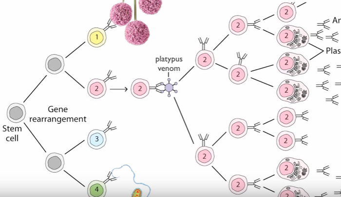 Clonal Selection Theory of Antibody Production Explained  HRF